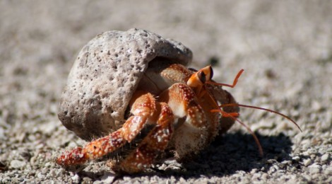 Curiosities - Cook Islands: Hermit Crabs
